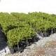 Araucaria Imbricata Vaso 9x13 Cm 25-30