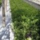 Araucaria Imbricata Vaso 9x13 Cm 20-25