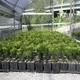 Araucaria Imbricata Vaso 9x13 Cm 15-20