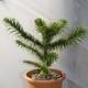 Araucaria Imbricata Vaso 18 Cm 25-30