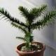 Araucaria Imbricata Vaso 18 Cm 35-45