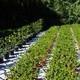Araucaria Imbricata Vaso 18 Cm 45-55
